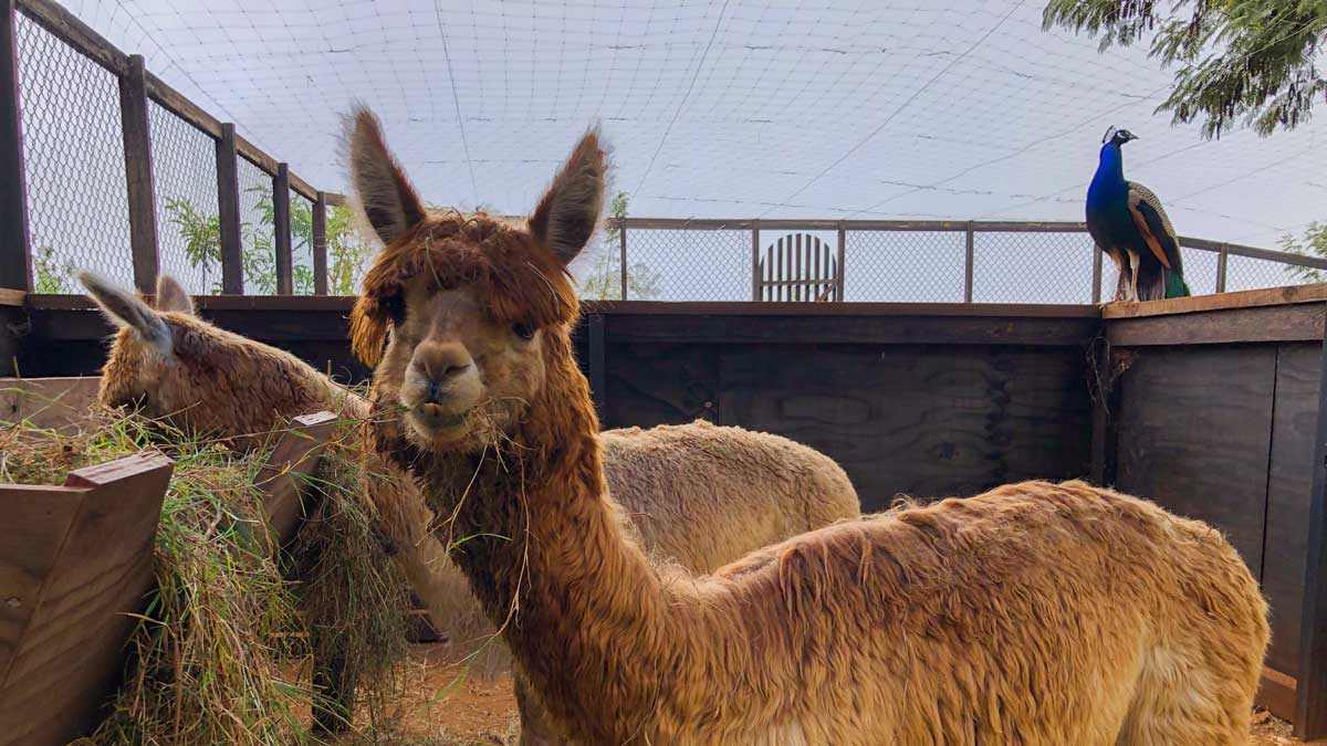 Two alpacas chew hay while a peacock stands watch