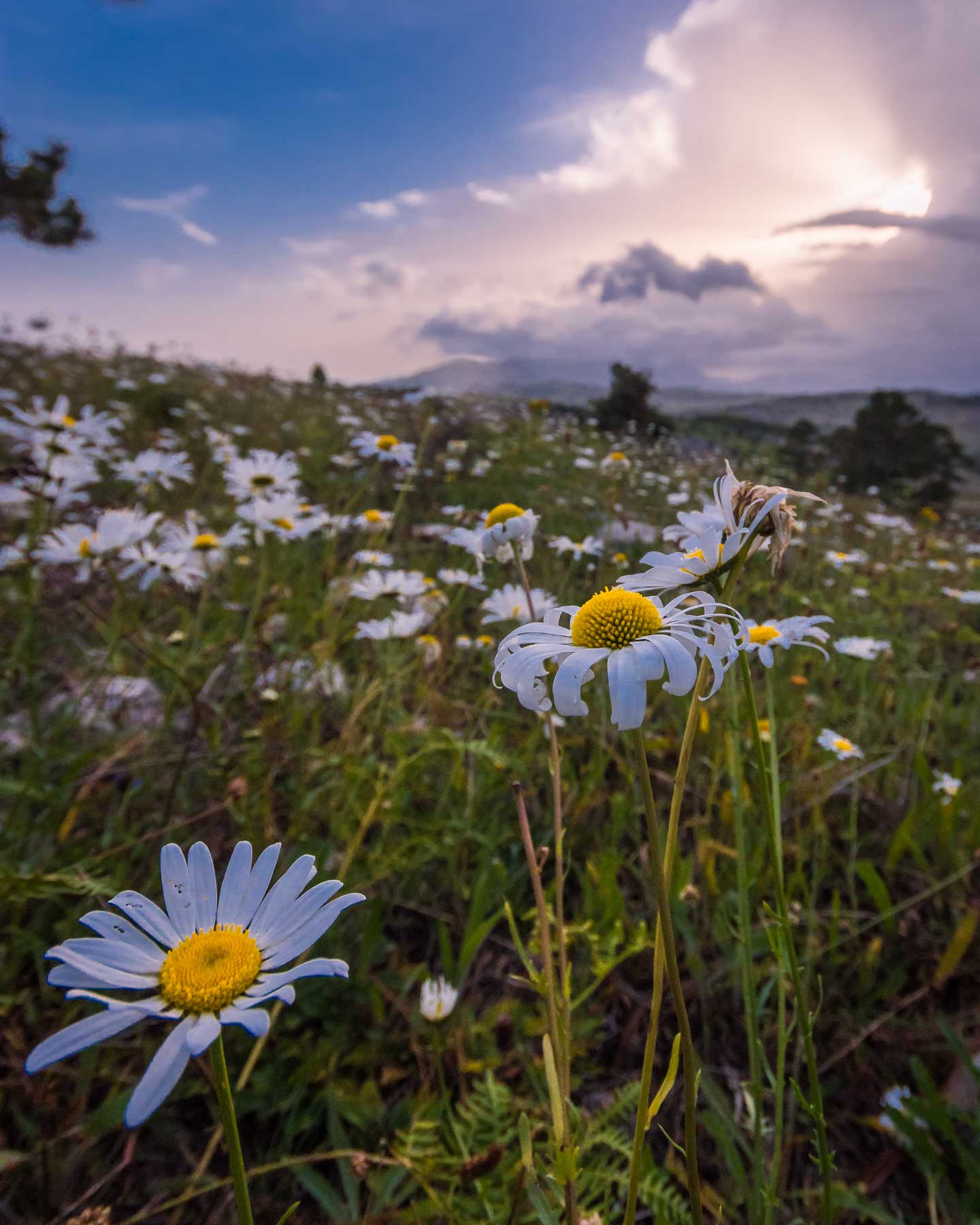 Daisies growing in a field in the Forêt des Pins, Haiti
